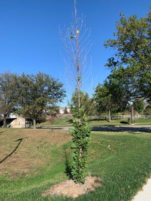 Newly planted sycamore tree under stress