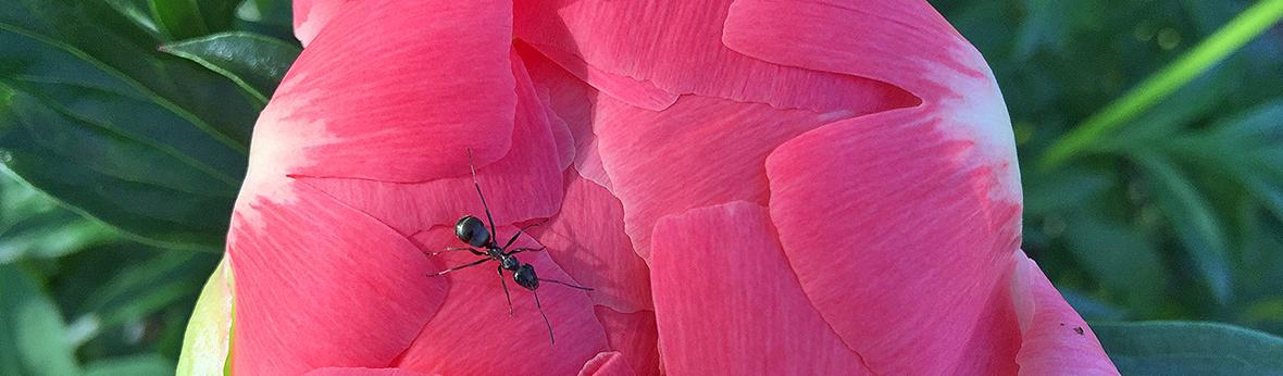 close up picture of an ant on a peony flower