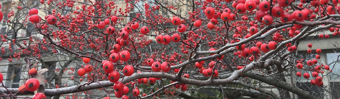 Picture of red hawthorn berries