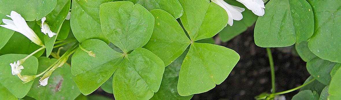 Picture of shamrock leaves and flowers