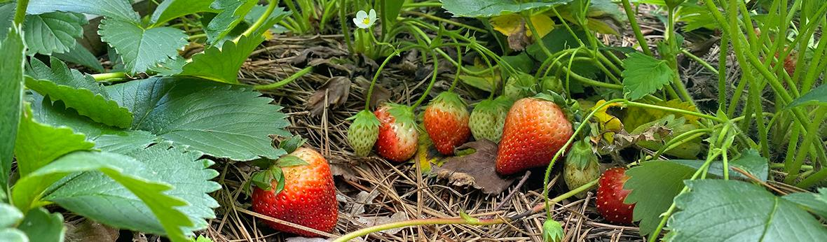 picture of strawberry fruits ripening in the garden