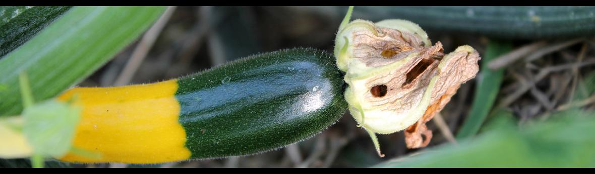 small green and gold zucchini fruit develops at the base of flower