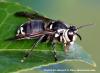 Adult bald-faced hornet on a leaf