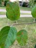 Frog eye leaf spot/ black rot symptoms in apple leaves